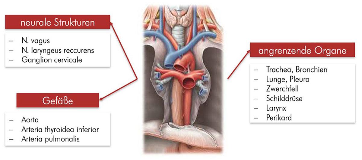 Darstellung der Lagebeziehung der Speiseröhre im Brustkorb