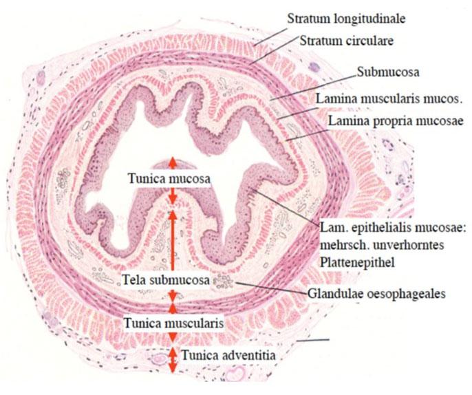 Schematische Darstellung der Wandschichten der Speiseröhre mit deren Fachbezeichnungen